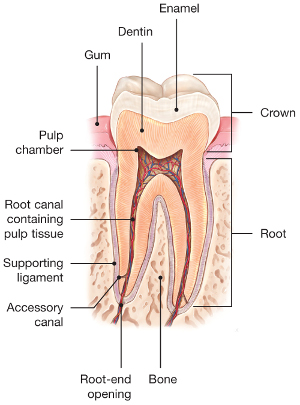 Root-Canals-Explained.jpg